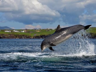 A Dolphin Has Been Living Solo in This Irish Harbor for Decades | Travel